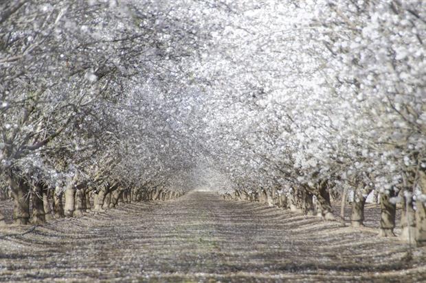 Una spettacolare fioritura di mandorli nella California Centrale