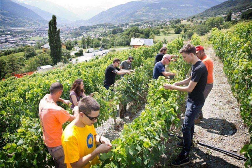 """Potatura """"verde"""" nelle vigne dell'Istituto. A destra Paolo Griffa. Al  centro, calvo con occhiali scuri, René Benzo"""