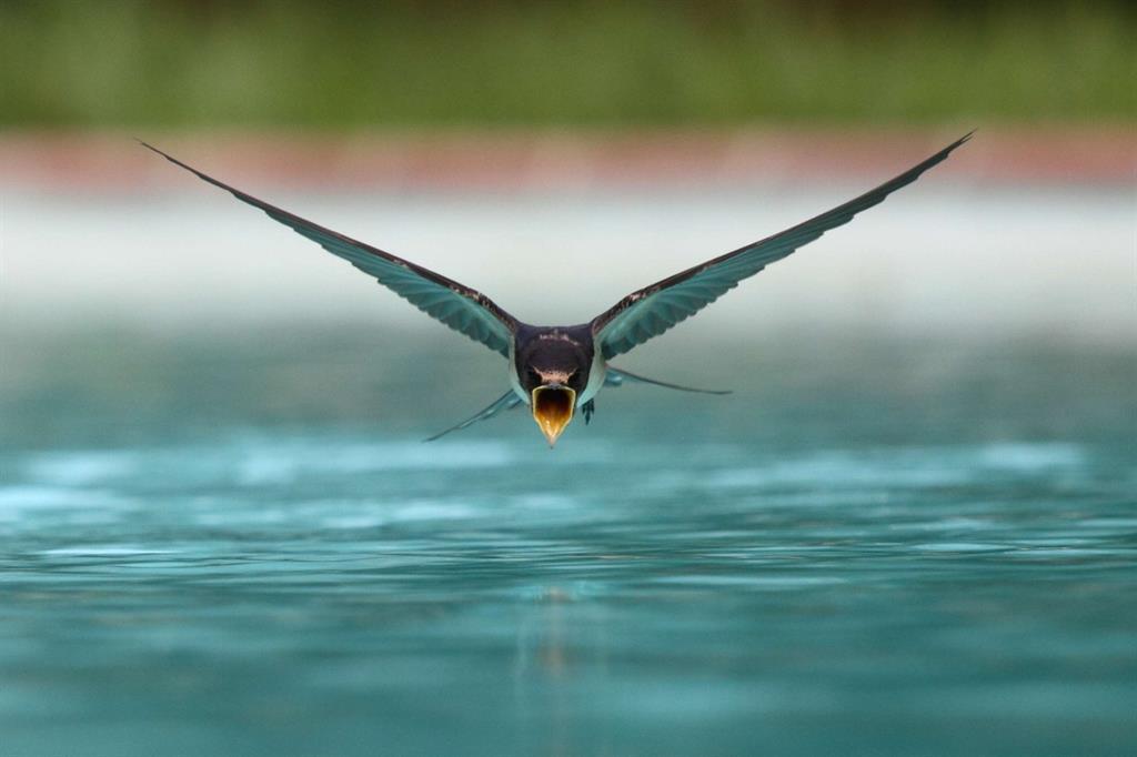 Una rondine vola a pochi centimetri dall'acqua per abbeverarsi (Sanchezn/WikiCommons)
