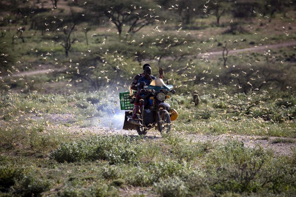 In motocicletta in mezzo a uno sciame di locuste del deserto a Lekji, Samburu East - Ansa/Fao