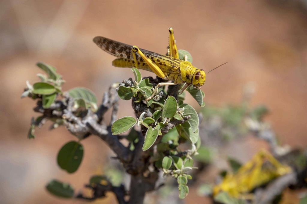 Una locusta del deserto su un cespuglio - Ansa/Fao