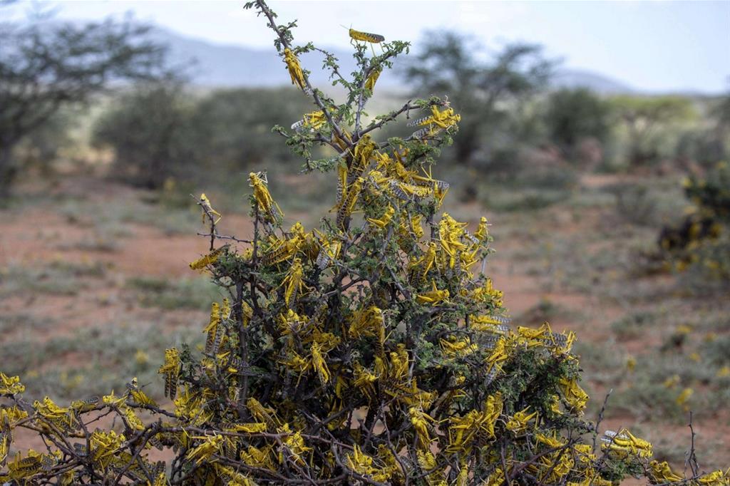 Locuste ricoprono un cespuglio - Ansa/Fao