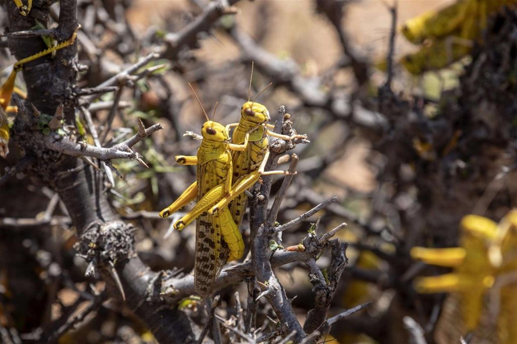Locuste del deserto su un albero - Ansa/Fao