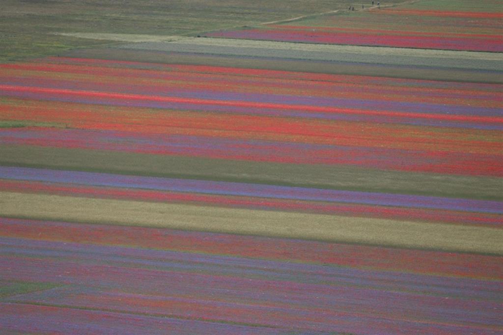 Il giallo della lenticchia, il bianco delle margherite, il rosso dei papaveri e il celestino dei fiordalisi - Ansa