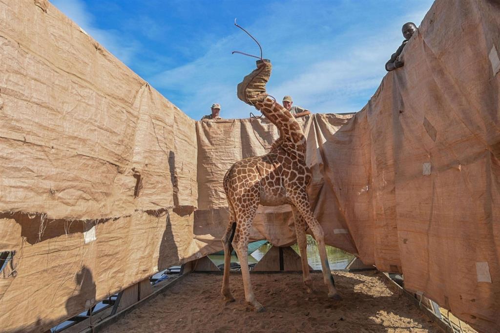 La foto che ha vinto il premio Natura: giraffe portate al sicuro da territori inondati verso il Kenya occidentale - Ami Vitale (World Press Photo Wpp)