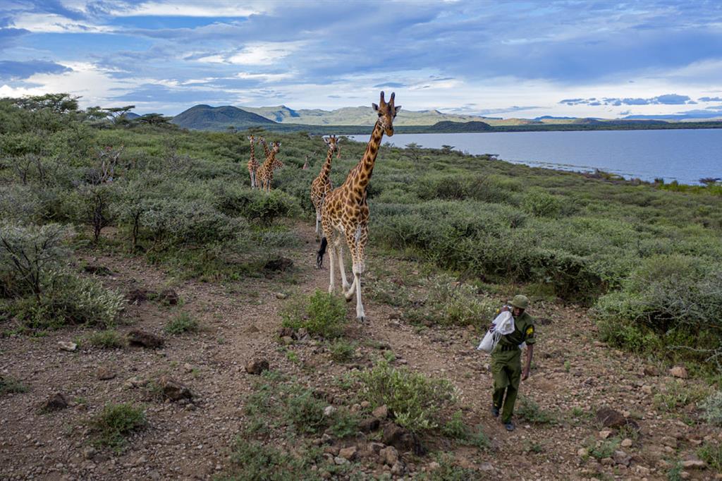Mike Parkei, ranger della Ruko Conservancy, si prende cura delle otto giraffe arenate su un'isola del Kenya. (Ami Vitale_FFE21) - © Ami Vitale