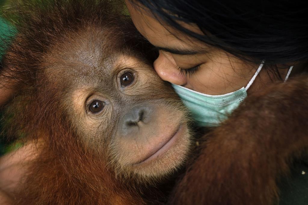 Selvi è la madre sostitutiva di Otan, un orango maschio di 3 anni che è stato salvato da un'abitazione a Giava Ovest grazie all'associazione JAN (Jakarta Animal Network). Selvi gli sta insegnando ad arrampicarsi sugli alberi della foresta di un centro riabilitativo presso il SOCP (Sumatran Orangutan Conservation Programme) Quarantine Centre. Lavorando insieme quotidianamente, i due hanno sviluppato un forte legame madre/figlio. La specie dell'orango dell'isola di Sumatra, in Indonesia, è gravemente minacciata dall'incessante impoverimento e dalla continua frammentazione della foresta pluviale. Con il continuo proliferare delle piantagioni di olio, di palma e di gomma, la deforestazione, l'estrazione mineraria e la caccia, gli oranghi sono costretti ad abbandonare il loro habitat naturale. Il fotografo ha documentato il lavoro di diverse organizzazioni locali a Sumatra che riabilitano e si prendono cura degli oranghi, aiutandoli nuovamente a socializzare. (Alain Schroeder - World Report Award_FFE21) - © Alain Schroeder